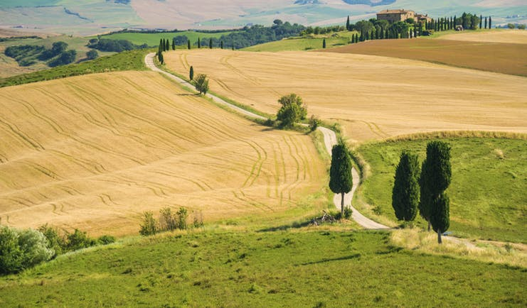 Yellow wheat fields ready for harvest with winding road lined by intermittent tall cypress trees in Tuscany