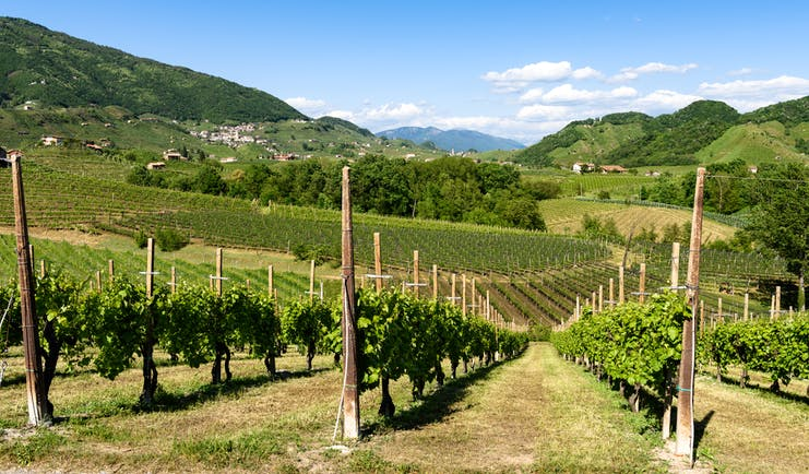 Rows of spring vines with green hills beyond in the prosecco country in the Veneto