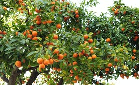 Tree with oranges in Andalusia