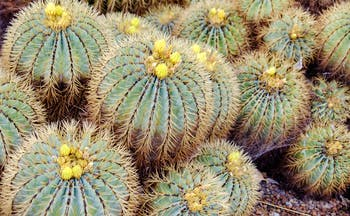 Large round cacti with spikes and yellow flowers on top in the Canaries