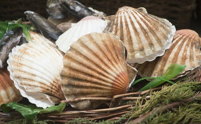 Scallop shells, pink and white, in a basket with some mussels in Galicia