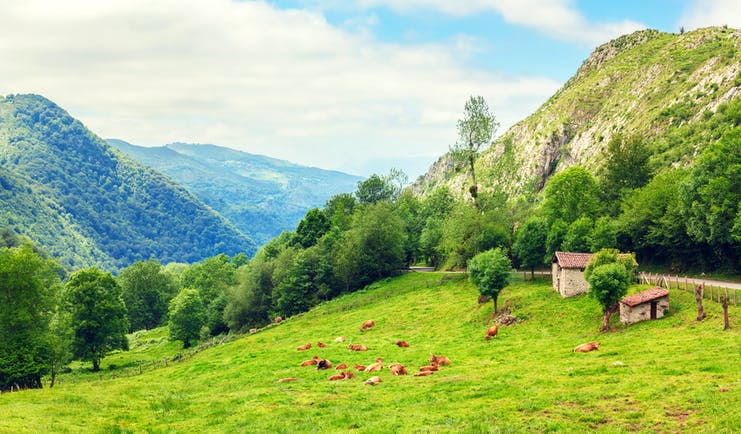 Green countryside with wooded hills and cows sitting down in field in Cantabria
