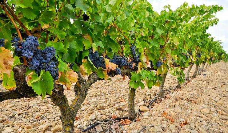 Black grapes on a vine in rows in La Rioja
