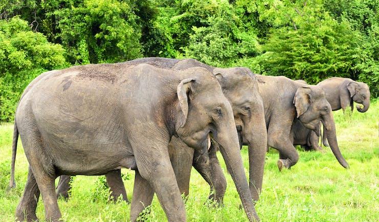 Elephants grazing in Minneriya National Park