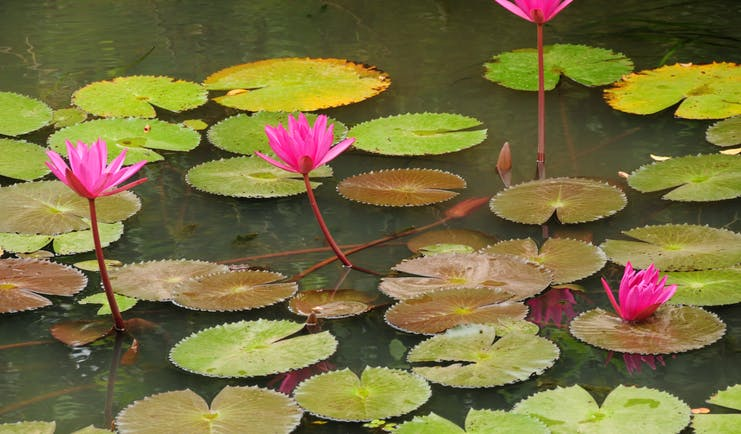 Water lilies in a pond, green lily pads, pink flowers