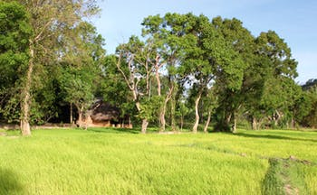 Ulpotha Sri Lanka paddy view thatched hut paddy fields trees