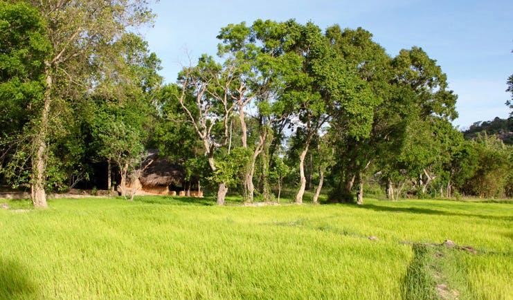 Ulpotha Sri Lanka paddy view thatched hut paddy fields trees