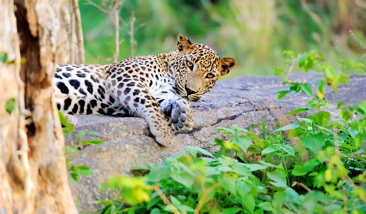 Leopard in the wild, lying on the ground next to a tree