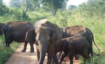 Mahoora Luxury Safari Camps Sri Lanka elephants in road