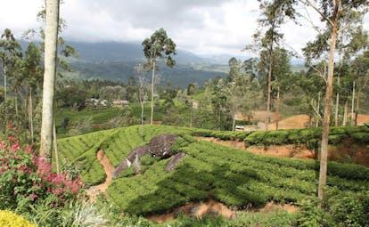 Ceylon Tea Trail Sri Lanka fields flowers and mountain views