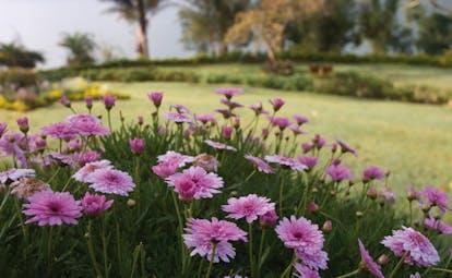 Ceylon Tea Trail Sri Lanka pink flowers in garden