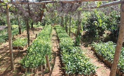 Kirchhayn Bungalow Sri Lanka plant nursery seedlings growing in rows
