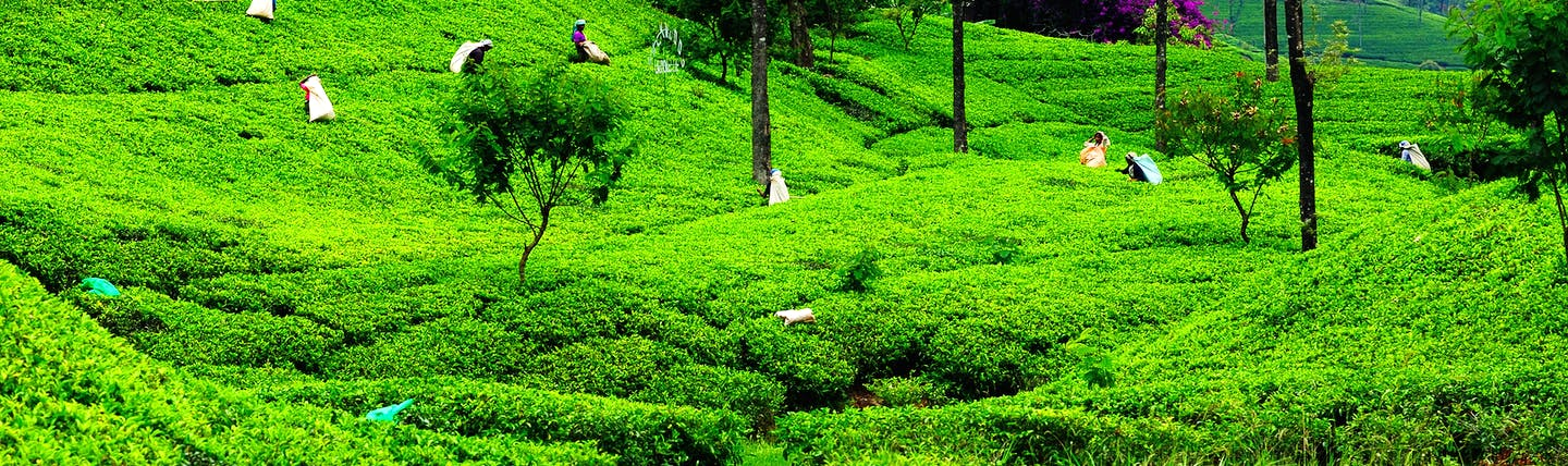 Tea plantations in Sri Lanka's Tea and Hill country, tea plants, trees