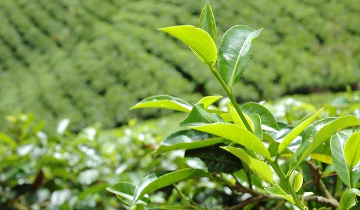 Tea plantation in Tea and Hill country, tea leaves, tea plants