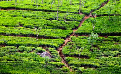 Tea plantations, tea plants growing, track through the plants
