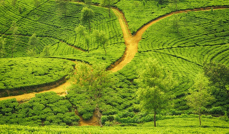 Tea plantation, trees, tea plants growing, road