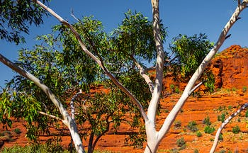 Bright orange earth and cliffs in Australia with green and grey tree in foreground