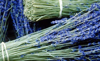Lavender tied together in bunches