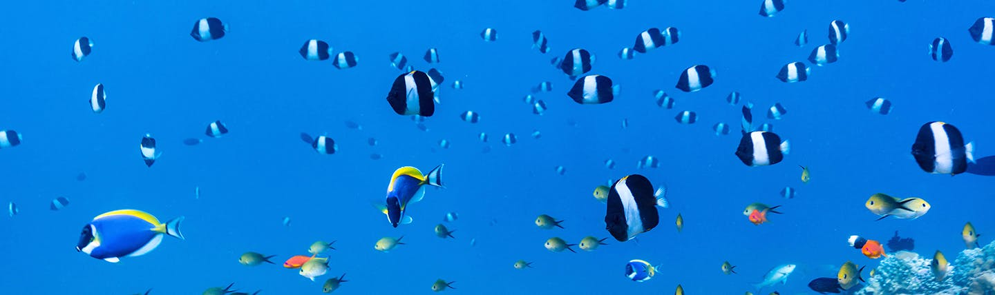 Lots of little blue and white striped fish swimming above coral reef in the Maldives
