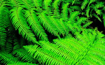 Bright green ferns from native bush in New Zealand